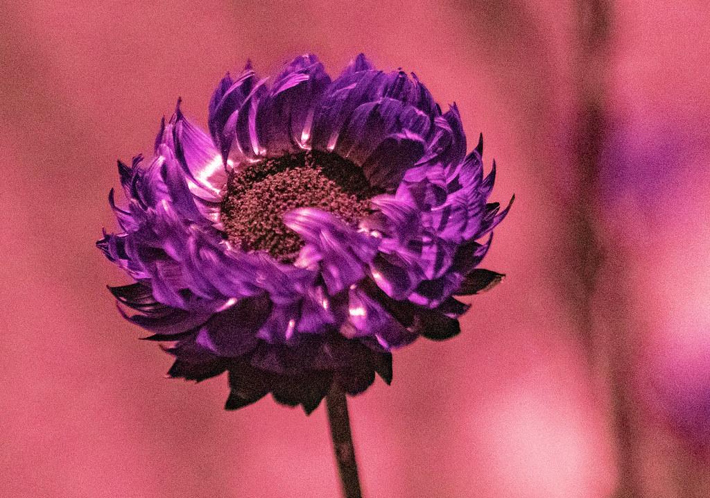 Rhodanthe chlorocephala UV