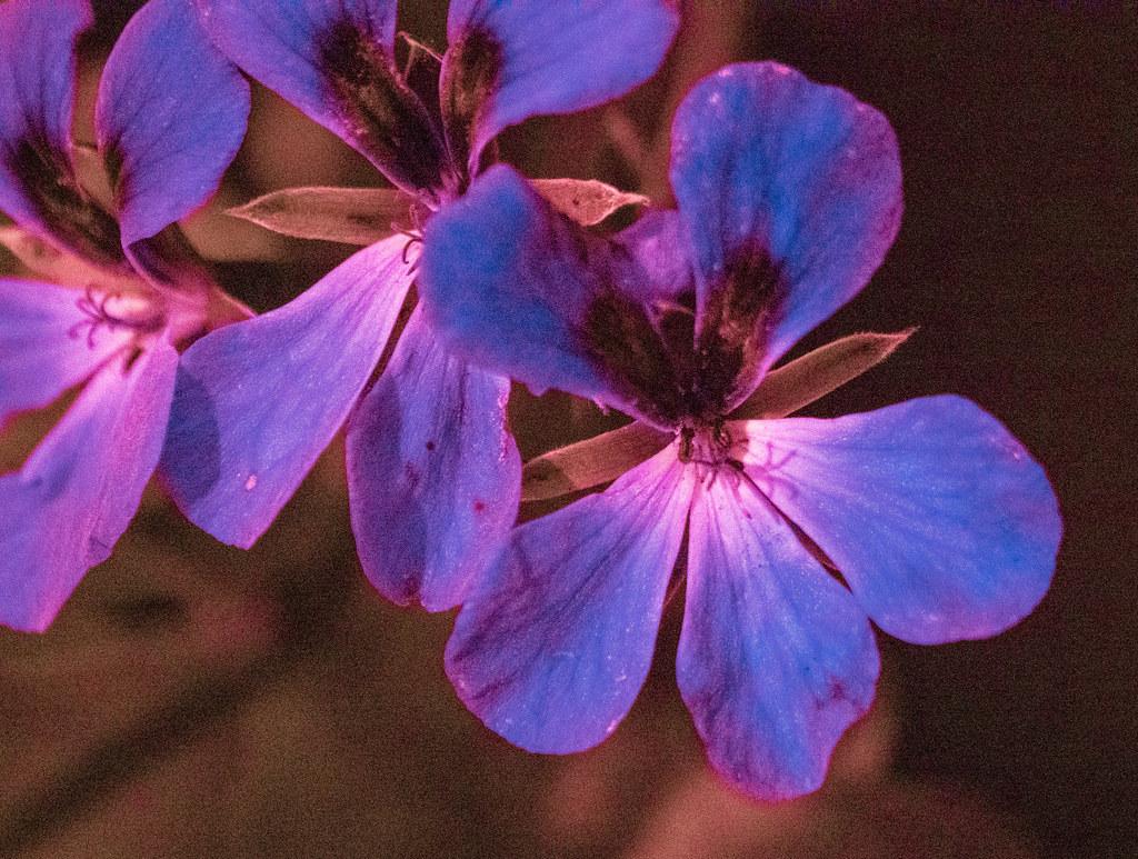 Pelargonium UV_1