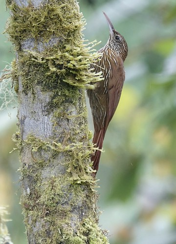 Mountain Woodcreeper
