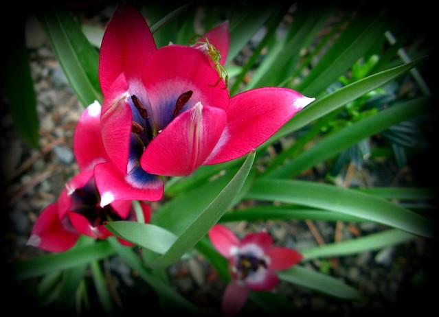 Tulipa little beauty