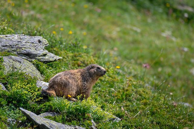 Marmotte à la Fournache, Haute Maurienne Vanoise, France