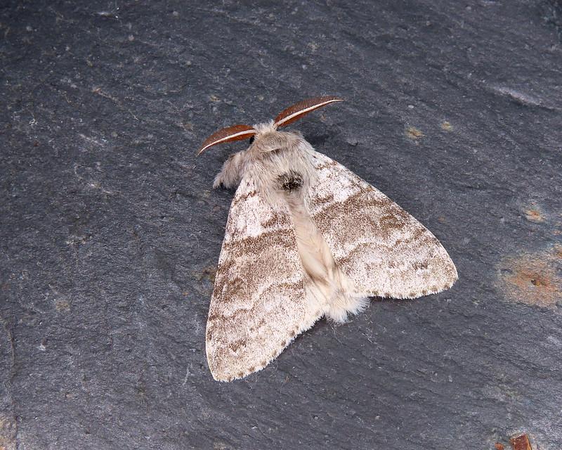 72.015 Pale Tussock - Calliteara pudibunda