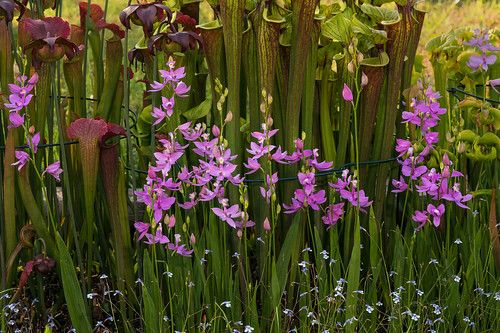 Calopogon tuberosus (Common Grass-pink orchid) [Explored 2019-05-14]