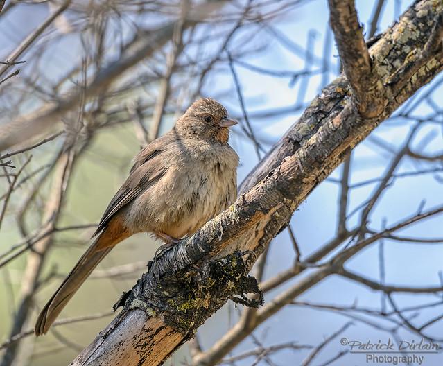 California Towhee ruffling its feathers - Explore