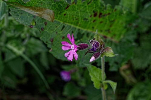 Red Campion (2) | by Barry JP