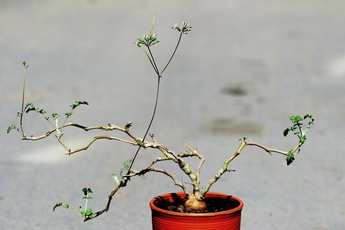 Pelargonium sp. from Pachypodium subgroup