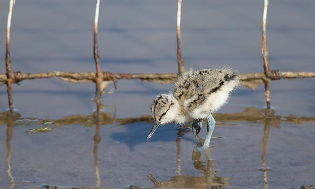 Avocet chick (Steart Marshes)