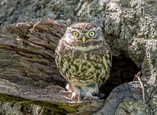 littleowl owl owls raptors birdsofprey birds bird avian animal animals wildlife wildbirds woodlands wildlifephotography woods woodland jefflackphotography trees farmland forest fields forests forestry countryside copse glades barns nature
