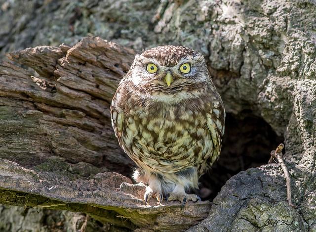 DSC3760  Little Owl..