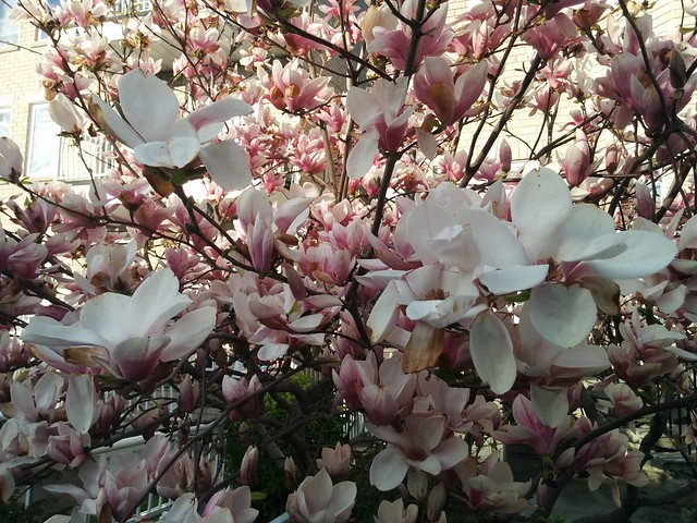 Magnolias opened #toronto #dovercourtvillage #bartlettavenue #flowers #magnolia #latergram