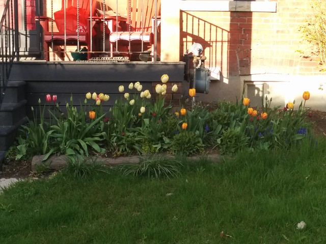 Tulips by the stoop #toronto #dovercourtvillage #bartlettavenue #flowers #tulips #red #yellow #orange #latergram