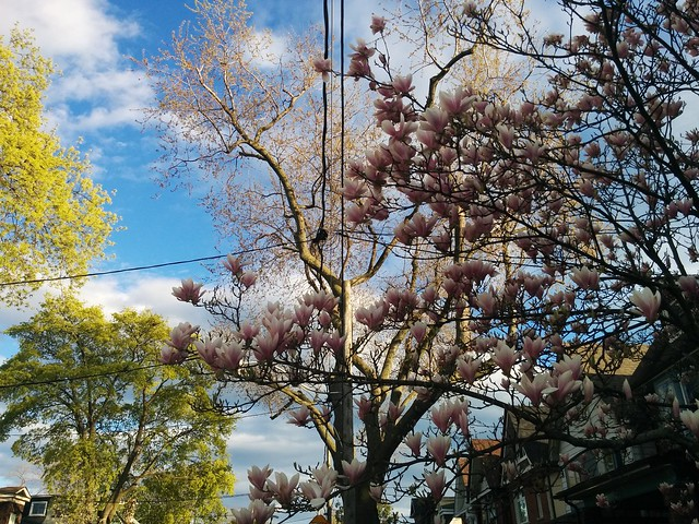 Looking back #toronto #dovercourtvillage #bartlettavenue #flowers #magnolia #latergram