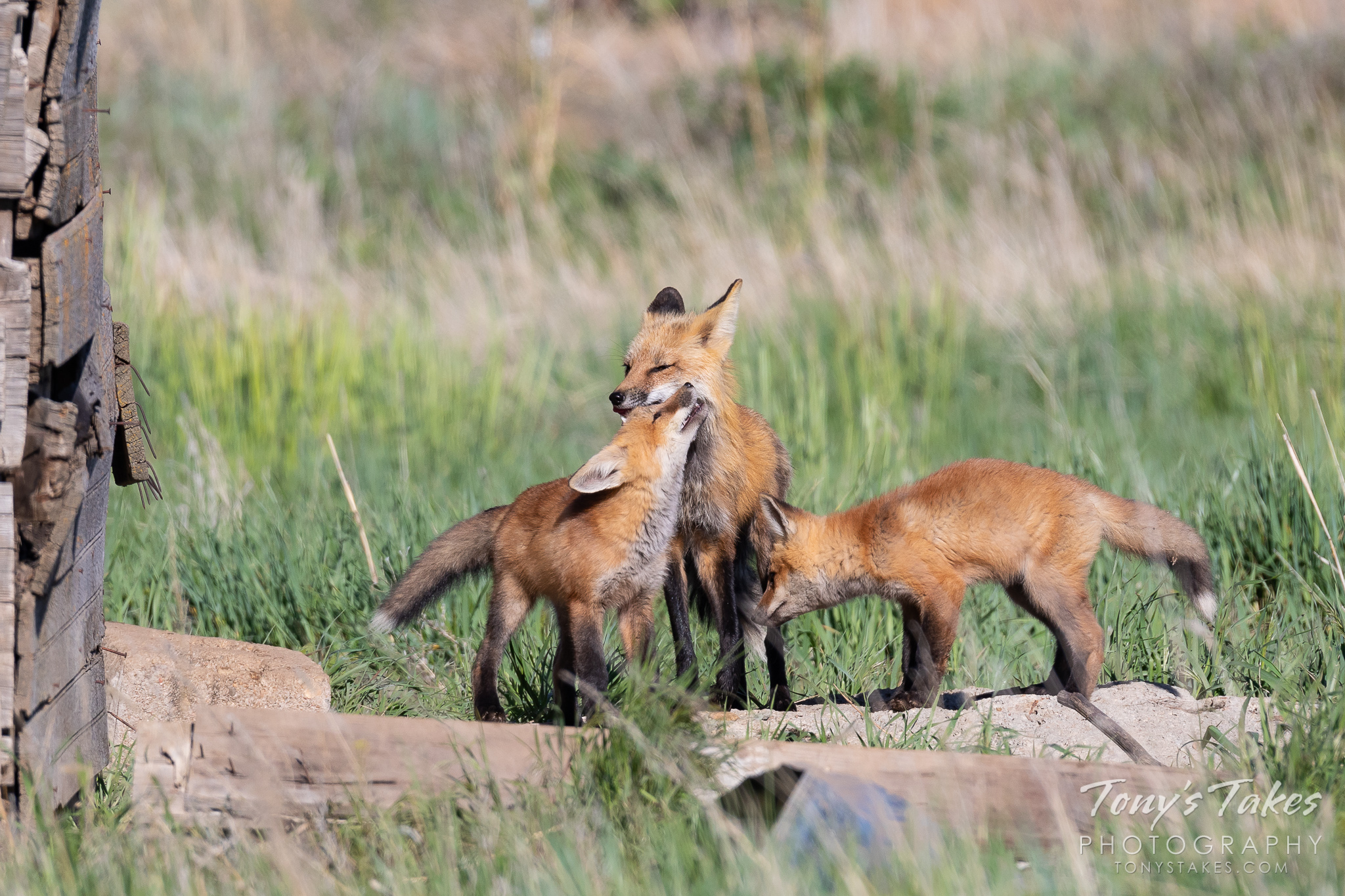A red fox kit cuddles up to its mother. (© Tony's Takes)