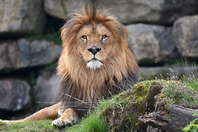 African lion - Pairi Daiza