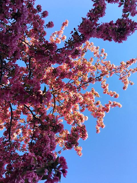 Flowering Paradise-Appletree