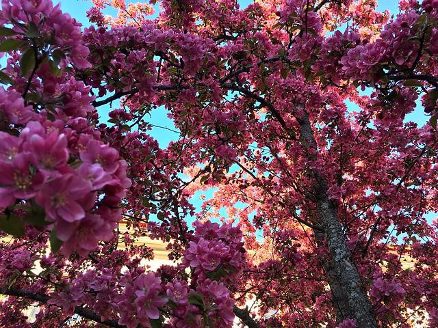 Paradise Appletree in Full Bloom