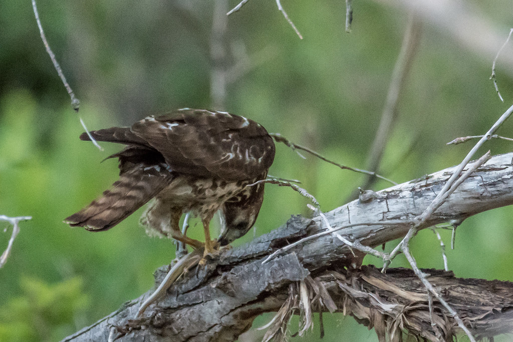 Unkonwn Hawk-9
