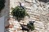 Tauben nisten an den Mauern der Skaligerburg