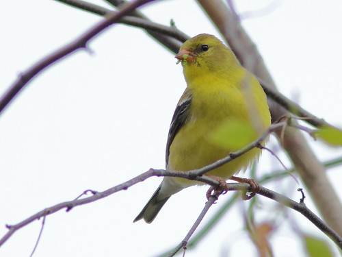 American Goldfinch female 02-20190509