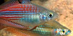 Lake Kuromai Rainbowfish