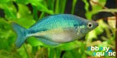 Blue rainbowfish