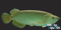Arowana Jardini | by abbasyaquatic