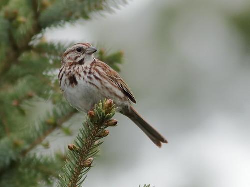 Song Sparrow 01-20190512