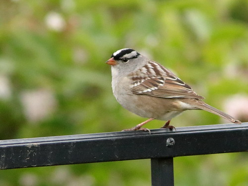 White-crowned Sparrow 01-20190512
