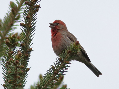 House Finch 01-20190512