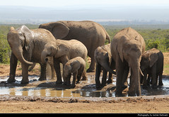 Elephant herd at the waterhole, Addo Elephant NP, South Africa