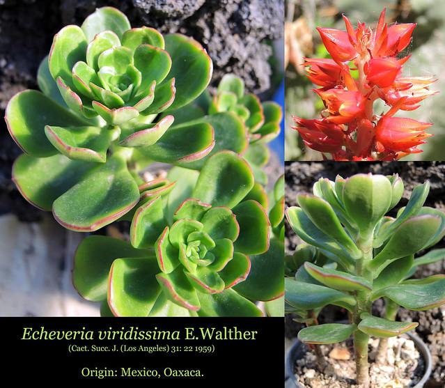 Echeveria viridissima (collage)