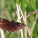 Wild Indigo Duskywing at Sandy Hook