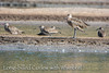 Long-billed Curlew With Whimbrel