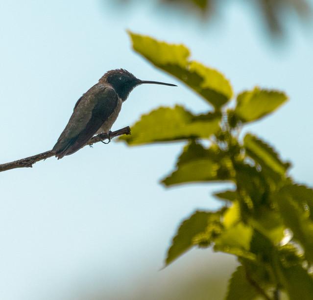 Hummingbird - Green River, Utah