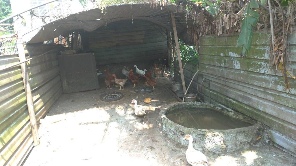 當地居民說,許多人家都會養雞鴨,多只有幾十隻供自己使用。孫文臨攝
