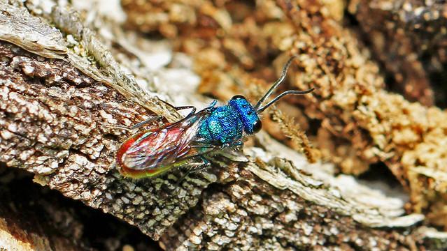 Ruby-tailed wasp - Chrysis ignita