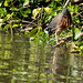 Little Green Heron.Usumacinta River.near Villahermosa