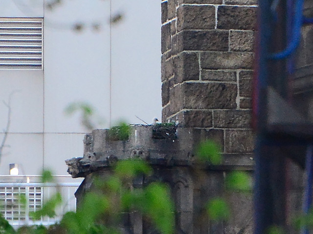 Cathedral Hawk Nestling - 2398
