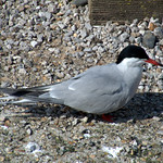 Terns back at Preston Docks