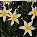 QUARRY HEADS & BLACK WOOD: Narcissus Sp. 'Daffodil'