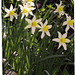 QUARRY HEADS & BLACK WOOD: Narcissus Sp. 'Daffodil'