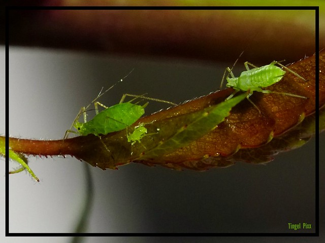 Familie Blattlaus / Family Aphid