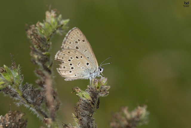 borboleta-azul-das-turfeiras, Alcon blue (Phengaris alcon)