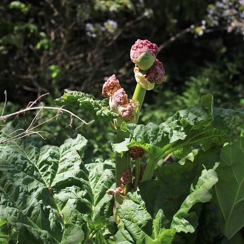 Rheum rhabarbarum - la délicieuse rhubarbe des jardins  40907808673_3ca5231d9b
