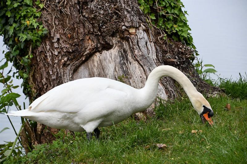 Swans nesting 18.05 (5)
