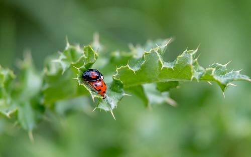 Asian ladybeetle - Harmonia axyridis - Aziatisch veelkleurig leiveheersbeestje