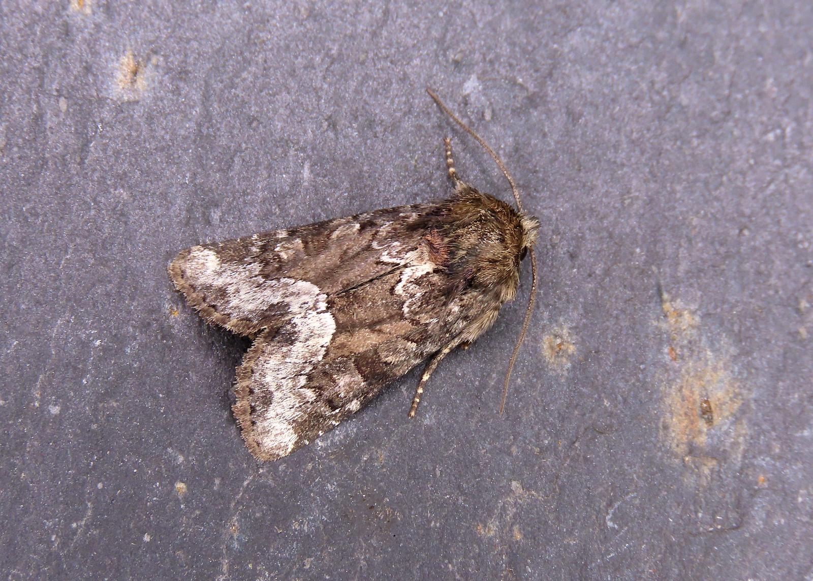 73.173x Marbled Minor agg. - Oligia strigilis agg.