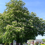 Massive blooming tree on Blackpool Road, Preston