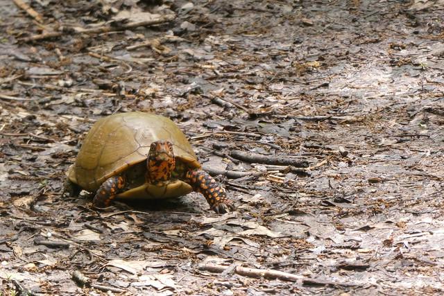 Box Turtle_P1020646
