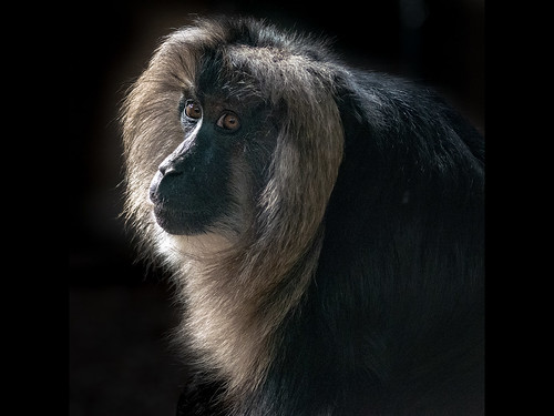 Lion-Tailed Macaque | by shaw67